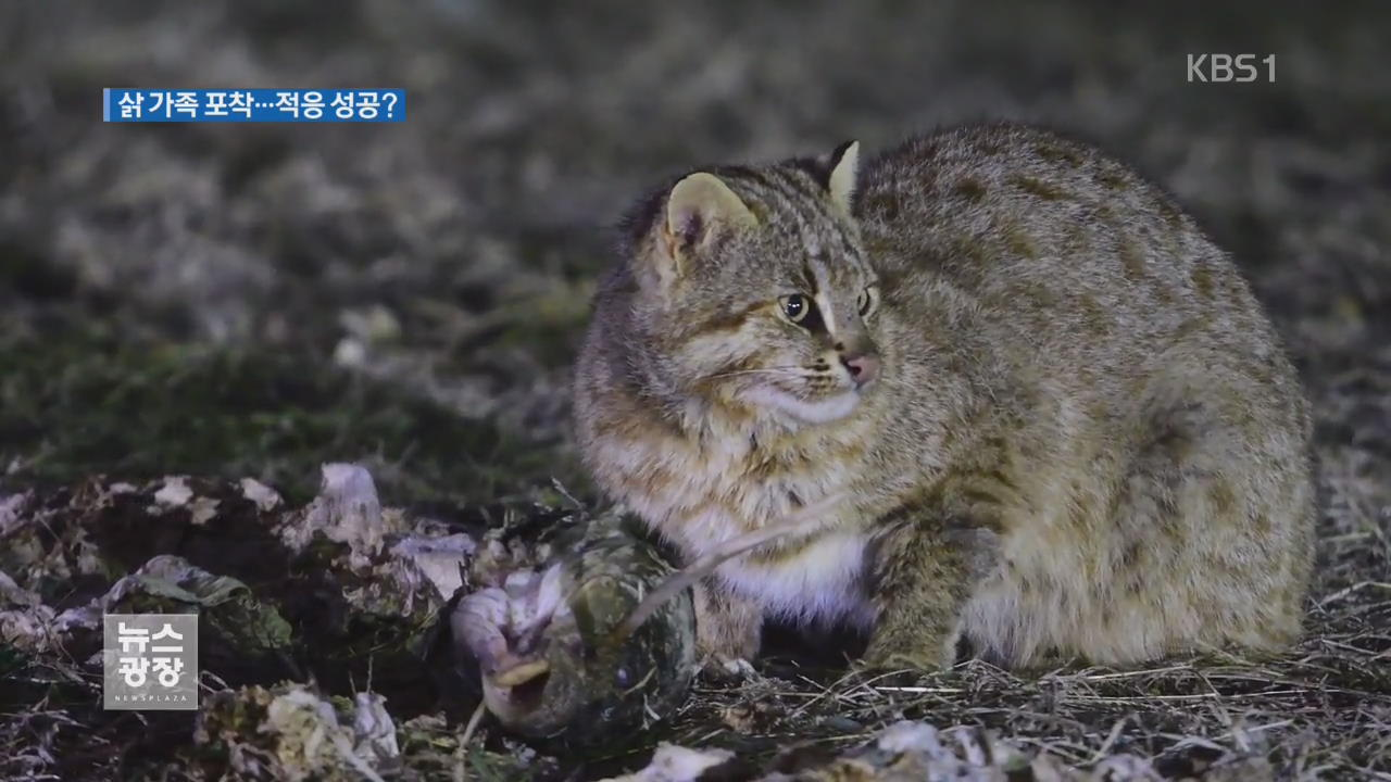 """가족 일군 삵 포착…""""자연 적응 성공"""" 관련 사진"""