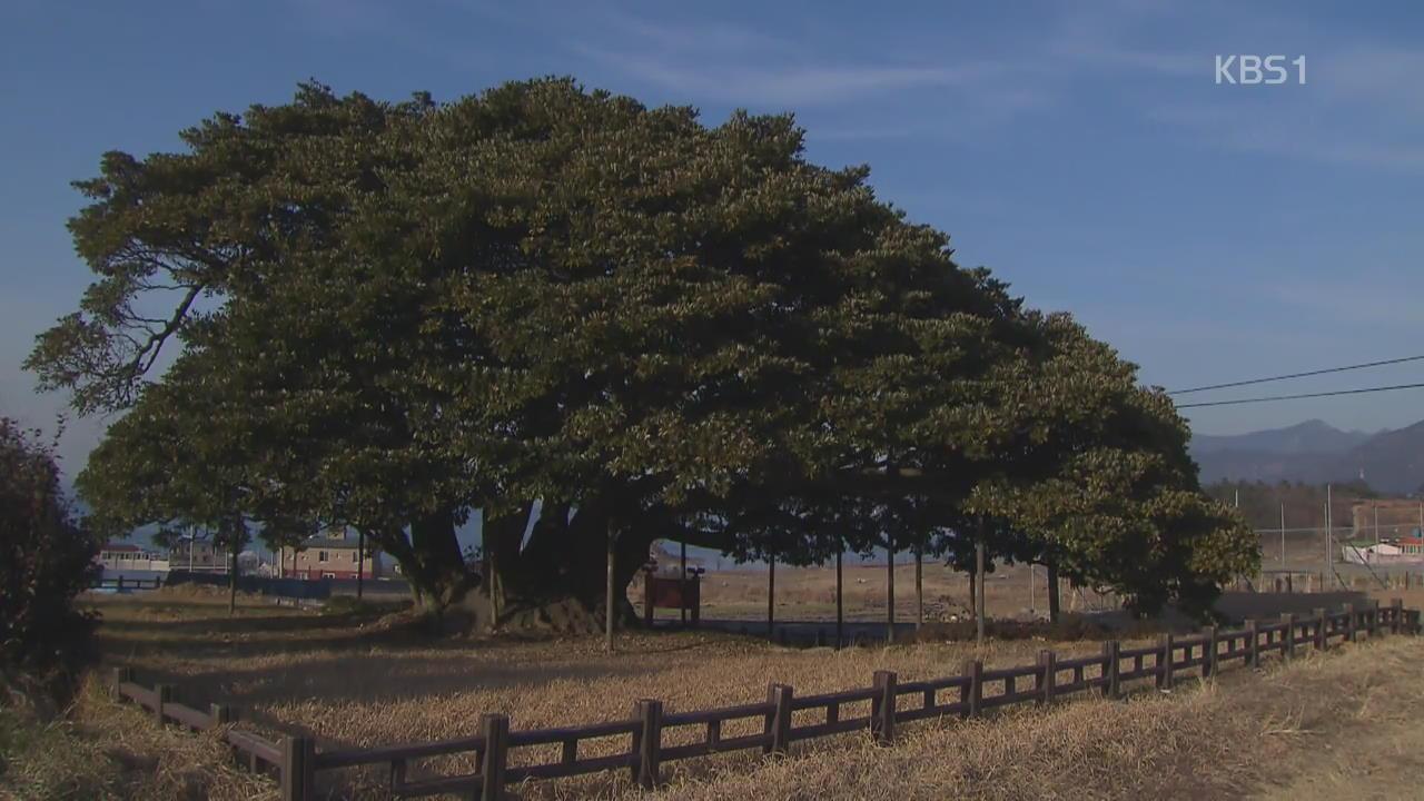 [뉴스광장 영상] 왕후박나무