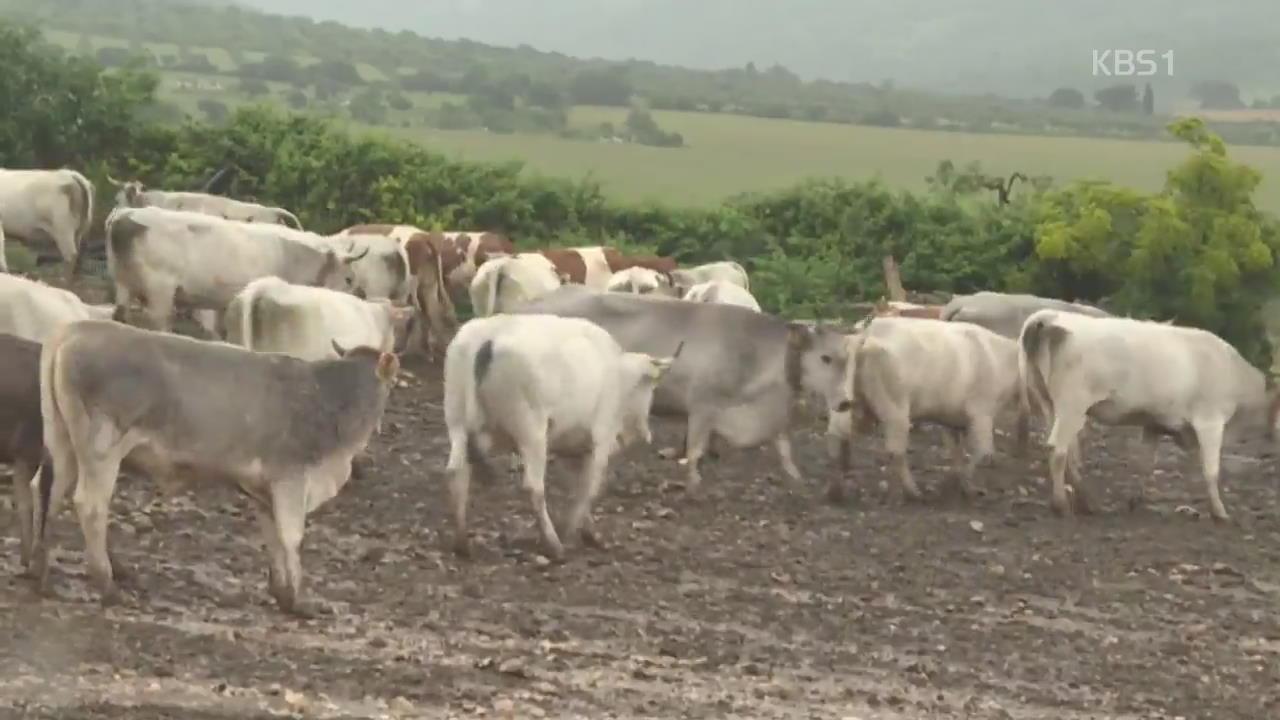 """이탈리아 """"젖소 목초지 이동 전통, 세계 유산 검토"""""""