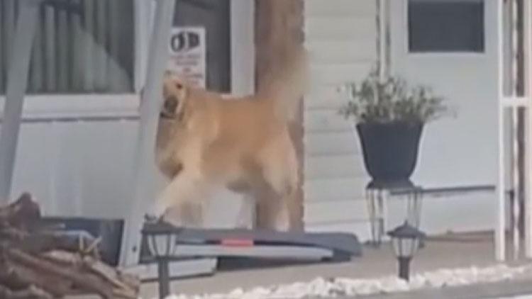 [영상] 비와서 산책 못하자, 'OOOO'으로 운동하는 반려견