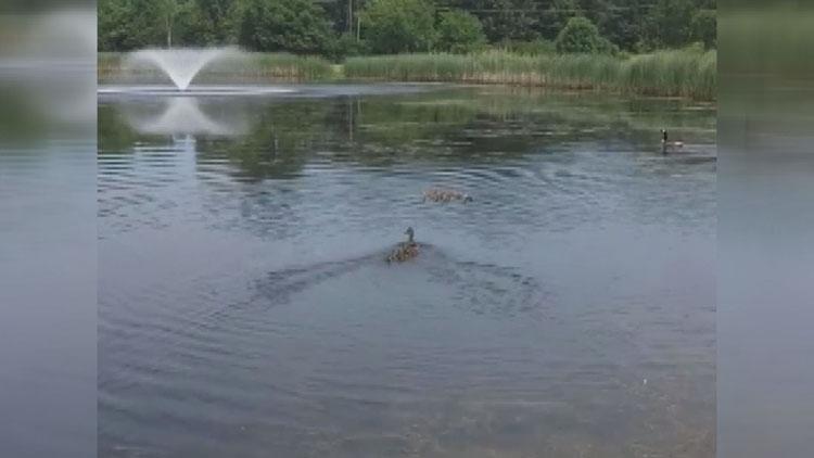 [고봉순] 연못에 새끼오리들을 풀어놓자, 놀라운 일이 펼쳐져…
