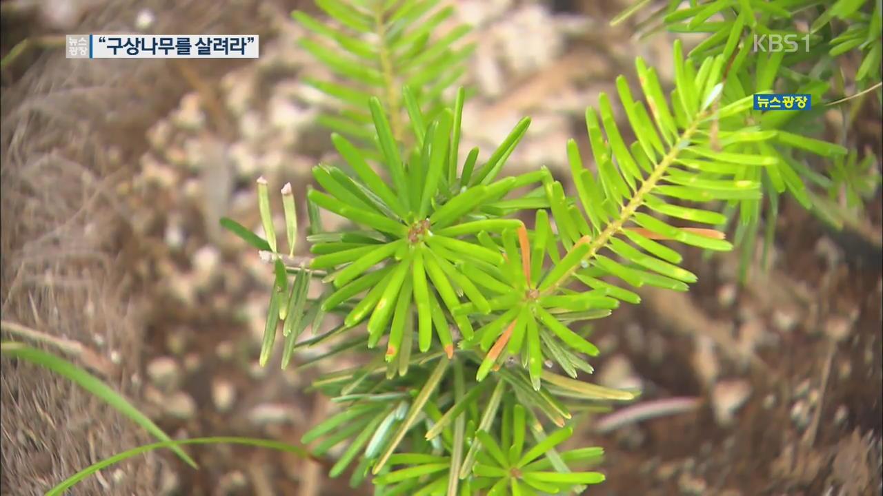 """""""구상나무를 살려라""""…한라산서 복원 작업 관련 사진"""
