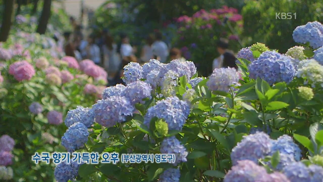 [뉴스광장 영상] 수국 향기 가득한 오후 관련 사진