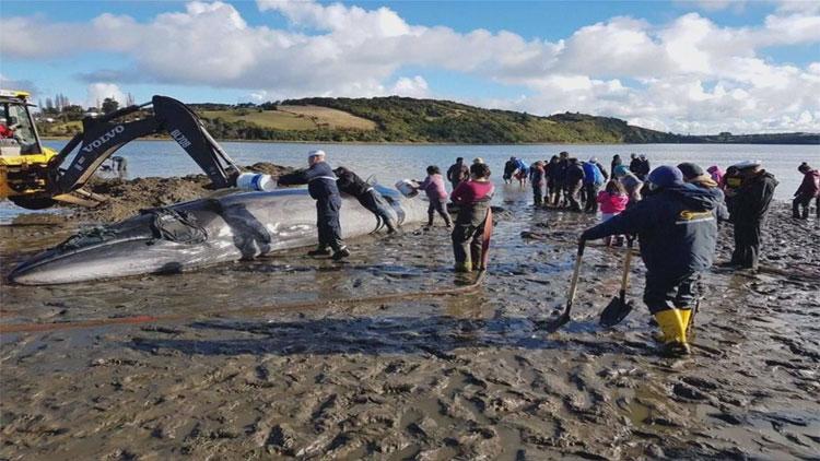[고현장] 해변에 좌초된 고래 구하기…갯벌을 파고 또 파고