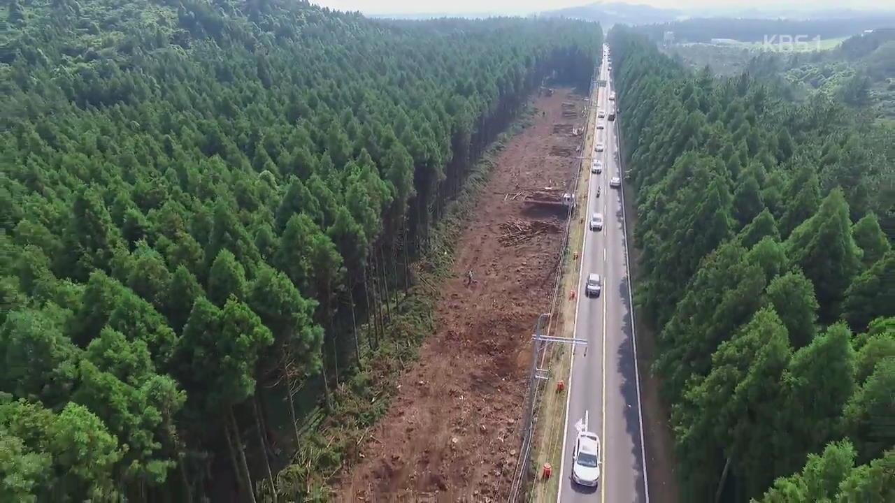 도로 뚫고 확장하고…제주 삼나무 숲 훼손 논란