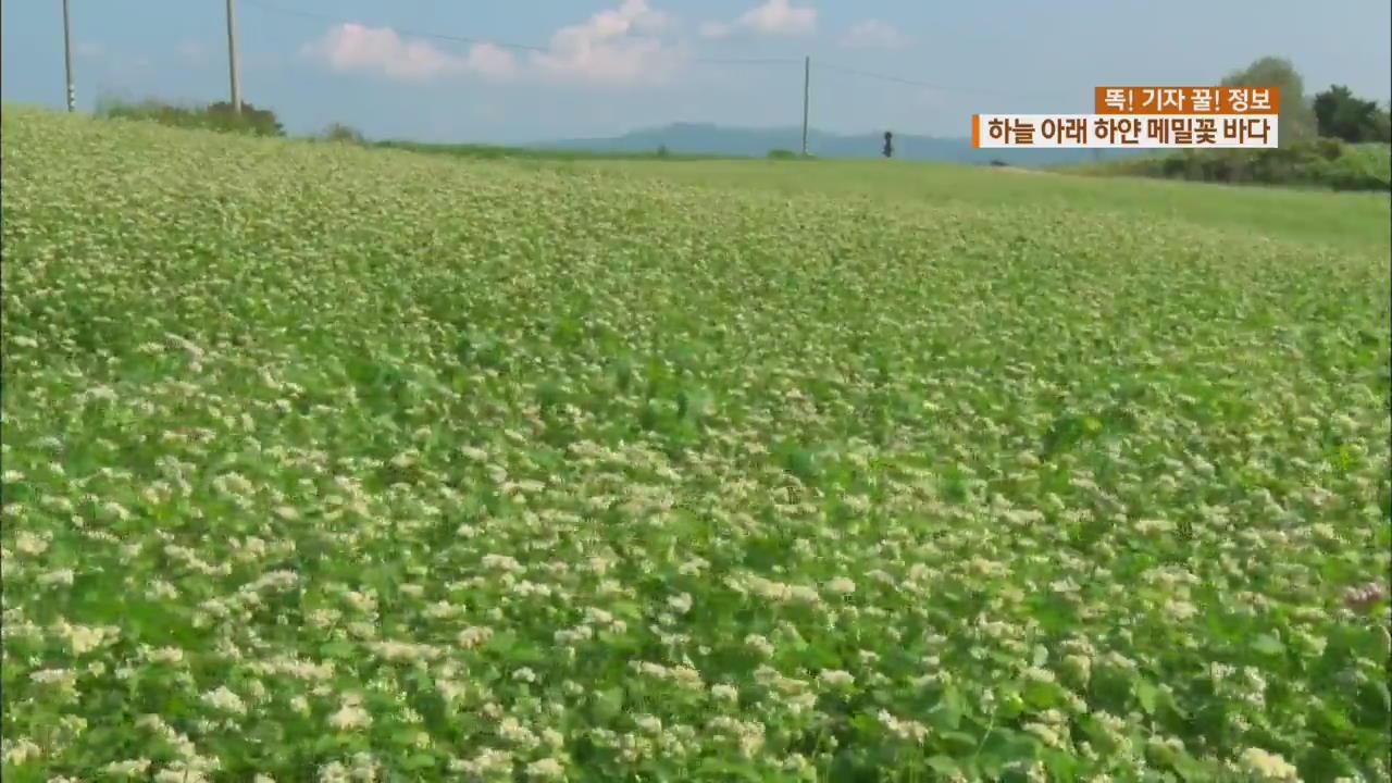 [똑! 기자 꿀! 정보] 하얀 메밀밭·젖소·양…자연이 숨쉬는 고창