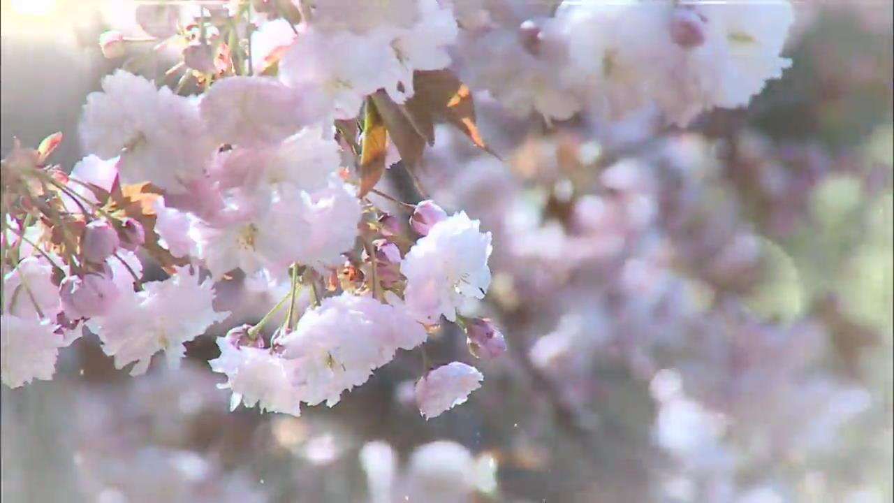 [똑! 기자 꿀! 정보] 청벚꽃에 취하고 선상에서 회를…'서산 여행'
