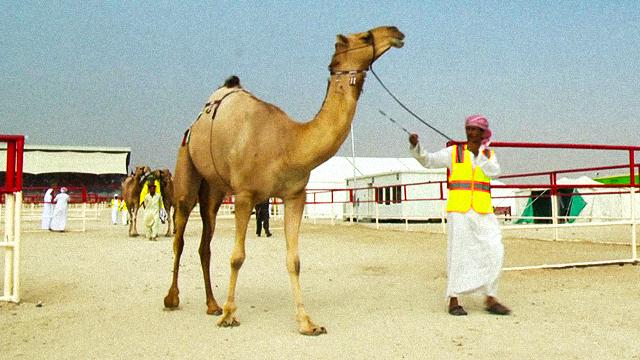 [특파원리포트] 낙타에 보톡스 시술을?…총 상금 60억 원 걸린 대회